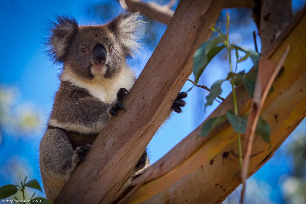koala in Austrailia