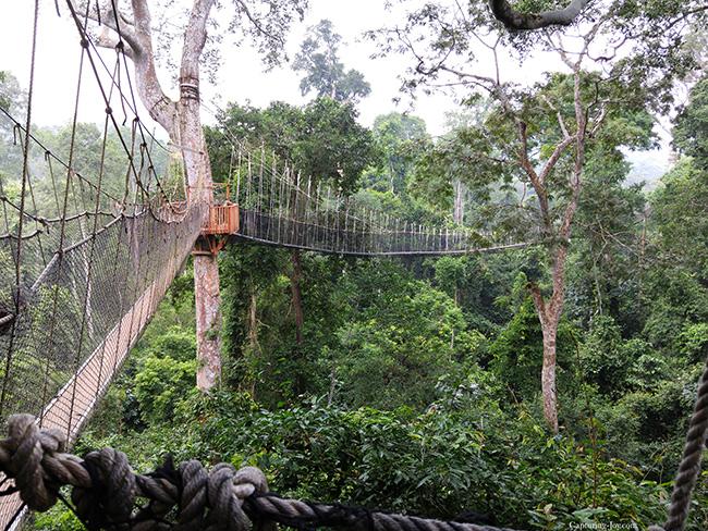 Rope Bridge above trees in Ghana